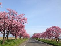 Yaezakura. Pink cherry blossoms lining and dancing along the road royalty free stock photo