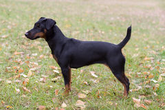 Yagd Terrier in the rack. Young fearless Purebred Dog at pose outdoors.  Autumn Royalty Free Stock Images