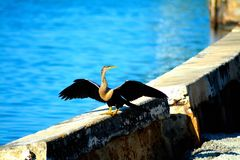 Yagruma Bird. LOCAL CUBAN SPECIE TAKING SUN IN A VARADERO BEACH CANAL Royalty Free Stock Photos
