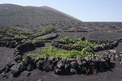 Yaisa grapewine pola, Lanzarote, Canaria wyspy fotografia stock