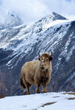 Yak στα βουνά στοκ φωτογραφία
