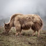 Yak στα himalayan βουνά Στοκ εικόνες με δικαίωμα ελεύθερης χρήσης
