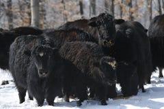 yak Royalty Free Stock Image