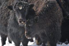 yak Royalty Free Stock Photo