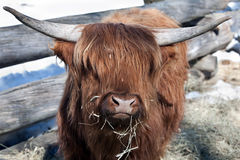 Yak. Close-up portrait of a yak in a pen in the spring Stock Images