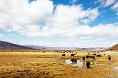 Yak. The yak herd browsing on the tibetan pasture Stock Photos