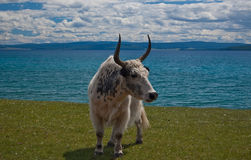 Yak Royalty Free Stock Photos