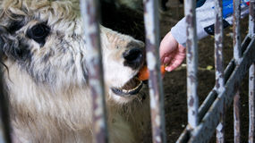 Yak. Animal feed through the bars Royalty Free Stock Photography