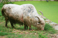 Yak. Is a long-haired bovine found throughout the Himalayan region of south Central Asia,the Tibetan Plateau and as far north as Mongolia and Russia Royalty Free Stock Photo