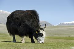 The yak Royalty Free Stock Photos