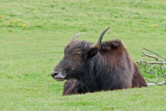 Yak. There are over 12 million yaks in the world. Unfortunately, wild yaks are becoming rarer in their Himalayan home because of hunting. This hardy animal can royalty free stock photos