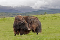 Yak Stock Images