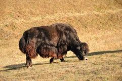 Άγρια yak Στοκ Φωτογραφίες