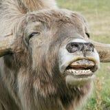 yak Stockfoto