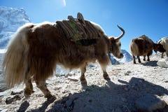 yak Royaltyfri Bild