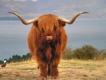 Free Yak Royalty Free Stock Images - 5955859