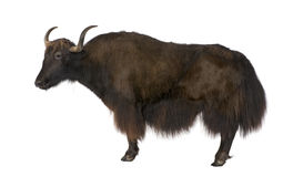 Yak Stock Photo