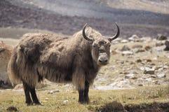 yak Fotografering för Bildbyråer
