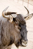 Yak. A yak, grey mane ox shot in a open field Royalty Free Stock Photography