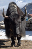 Yak. Most common transport animal in Nepalese Himalayas Royalty Free Stock Images