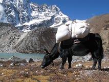 Yak al lato di bello lago in Himalaya Fotografia Stock