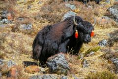 Yak in Himalayas mountain path. Yak animal living in Himalayas mountains. Domestic farm cargo yak animals at high altitude mountain of Tibet and Nepal Stock Photos