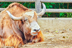 Yak animal   look  on camera. Stock Images