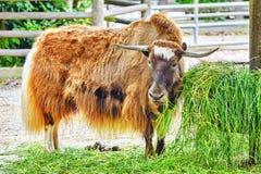 Yak animal   look  on camera. Royalty Free Stock Photos