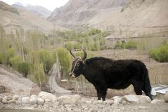 Yak, Basgo, Ladakh, India. The yak, Bos grunniens, is a long-haired bovine found throughout the Himalayan region of south Central Asia, the Tibetan Plateau and Stock Images