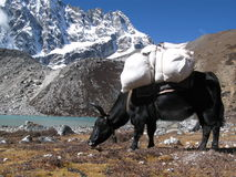 Yak beside a beautiful lake in Himalaya Stock Photography