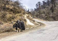 Yak  in Bhutan Royalty Free Stock Photography