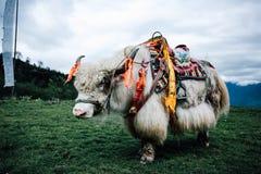 Yak bianchi fotografie stock libere da diritti