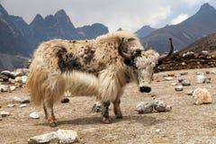 Yak bianchi sul modo al campo base di Everest Immagine Stock Libera da Diritti