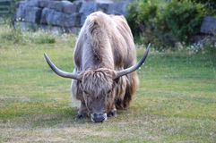 Yak. A big strong hungry yak Stock Photography