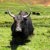 Yak - bos grunniens or bos mutus - in Langtang valley Stock Images