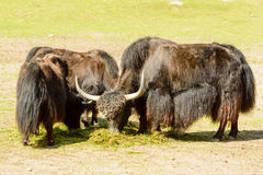 Yak, Bos grunniens Royalty Free Stock Photo