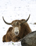 Yak ( Bos grunniens mutus ) Royalty Free Stock Photography