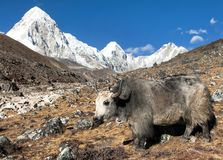 Yak, bos grunniens bos mutus, on the way to Everest base camp and mount Pumo ri - Nepal himalayas mountains. Yak, bos grunniens or bos mutus, on the way to stock image