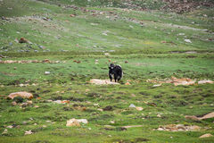 Yak grazing in the meadow in Leh district in Ladakh, India Stock Photo