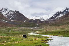 Yak grazing in the meadow in Leh district in Ladakh, India Royalty Free Stock Photo