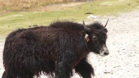 Yak calf runs stock footage