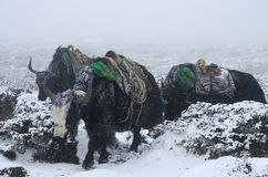 Yak caravan going from Everest Base Camp, Nepal Stock Photo