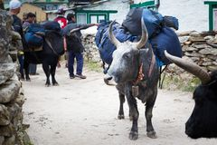 Yak carrying tourist bags load. Stock Images