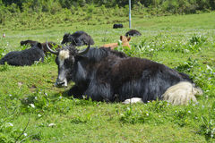Yak cattle in grass land Royalty Free Stock Image
