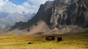 Yak of Central Asia. Homemade tebet yaks in a pasture