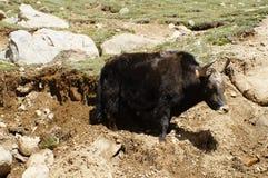 Yak che pascono in Himalaya, Ladakh, India Fotografia Stock Libera da Diritti