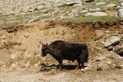 Yak che pascono in Himalaya Ladakh, India Immagini Stock Libere da Diritti