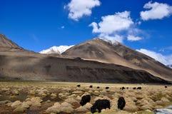 Yak che pascono in montagna himalayana Fotografia Stock