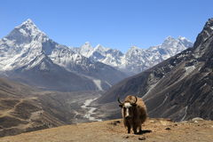 Yak che stanno in un'area montagnosa a distanza nel Nepal Immagine Stock Libera da Diritti