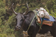 Yak Chewing Royalty Free Stock Images
